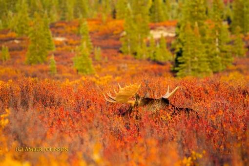moose 2
