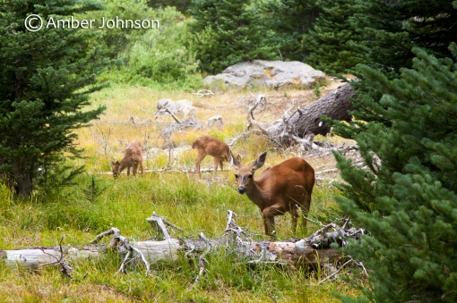 deer & twins